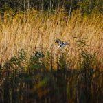 en Bear wolf and lynx and the Danube Delta program en de B r Wolf und Luchs und Donaudelta Programm de